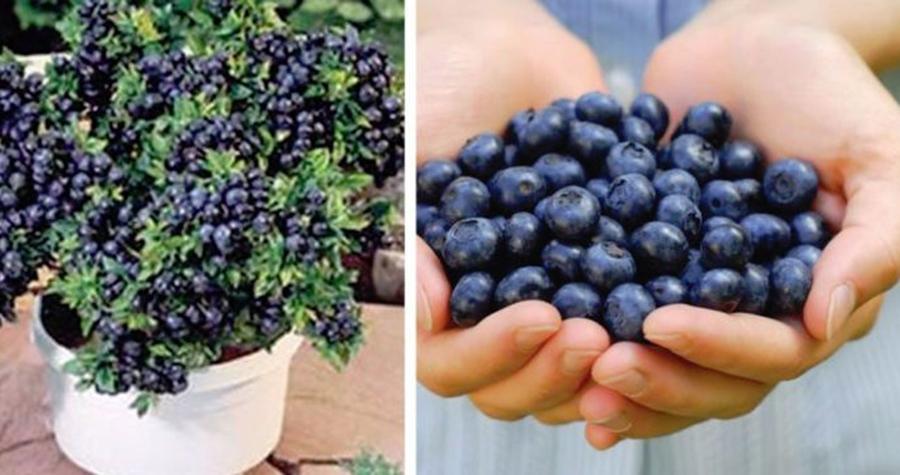 Încă mai cumperi afine? Metode simple și ingenioase de cultivare, care te scapă de prețurile umflate